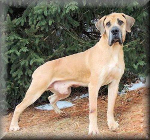 Marmaduke Is An Adoptable Mastiff Great Dane Dog In Westminster
