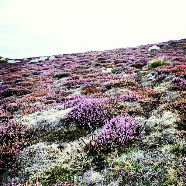 I Remember Walking Through Fields Of Heather In Ireland Laying Down In It So Thick Like A Mattress And Loo Heather Plant Wild Flowers Flower Field