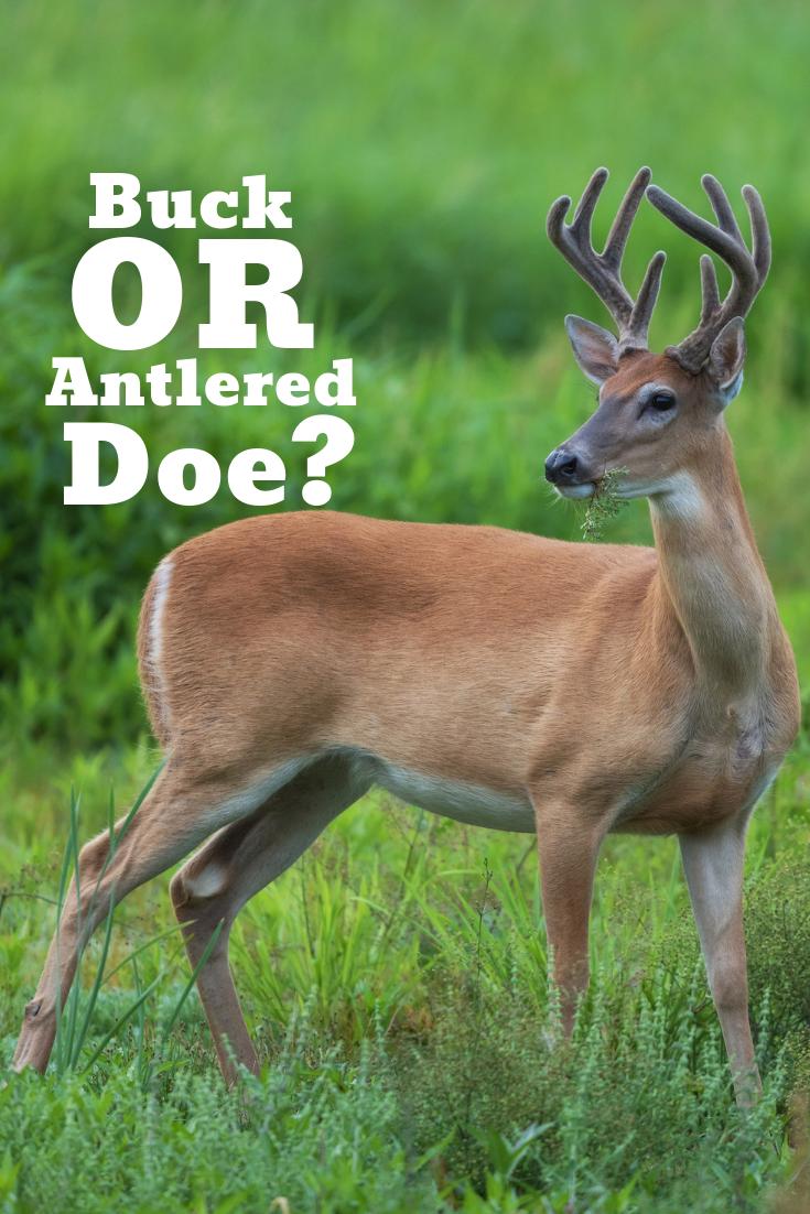 Buck or Antlered Doe? Whitetail deer hunting, Antlered