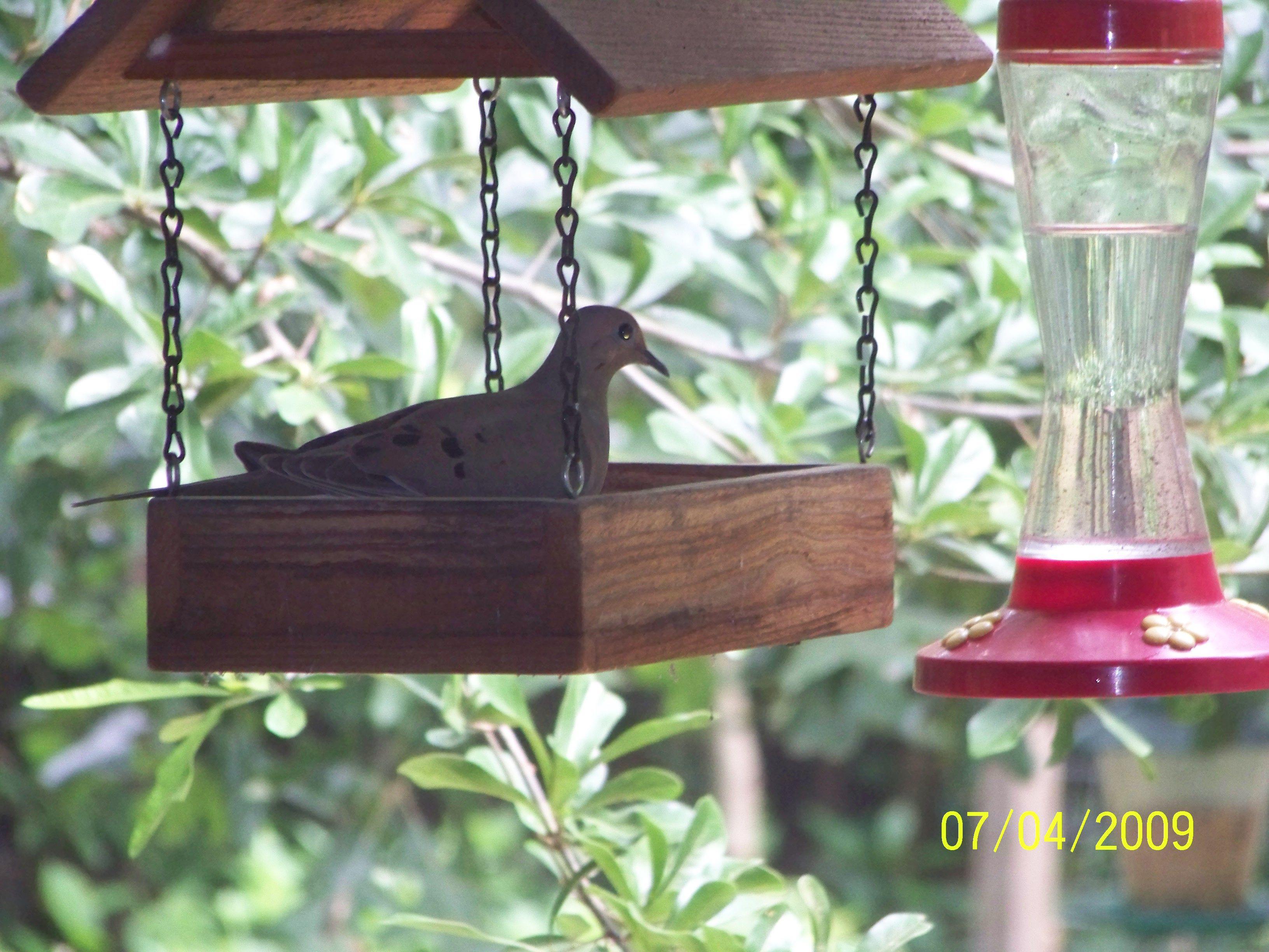 I had a dove in the bird feeder bird feeders birds