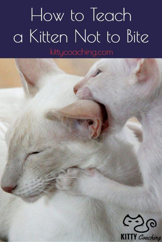How To Teach A Kitten Not To Bite (2018) Kitten biting