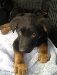 Boca Raton Fl Usa Pure White Labrador Retriever Female B White Labrador Labrador Retriever Dogs And Puppies