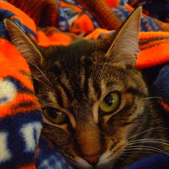 My cat, Leela, snuggled in my Auburn snuggie.