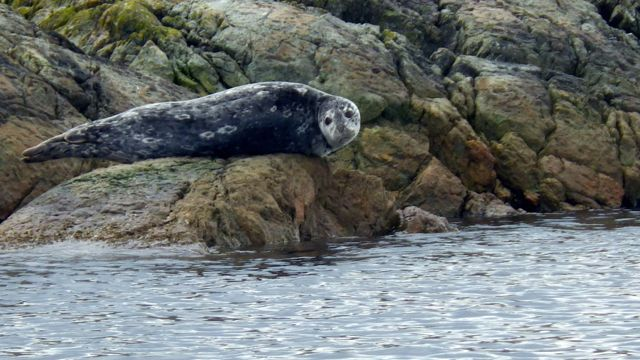 One Harbour Seal up high