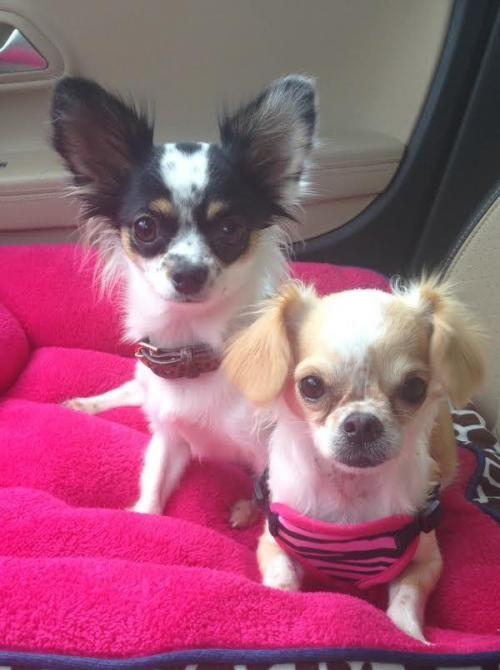 Adopt Panda And Noel Bonded On Chihuahua Love Chihuahua