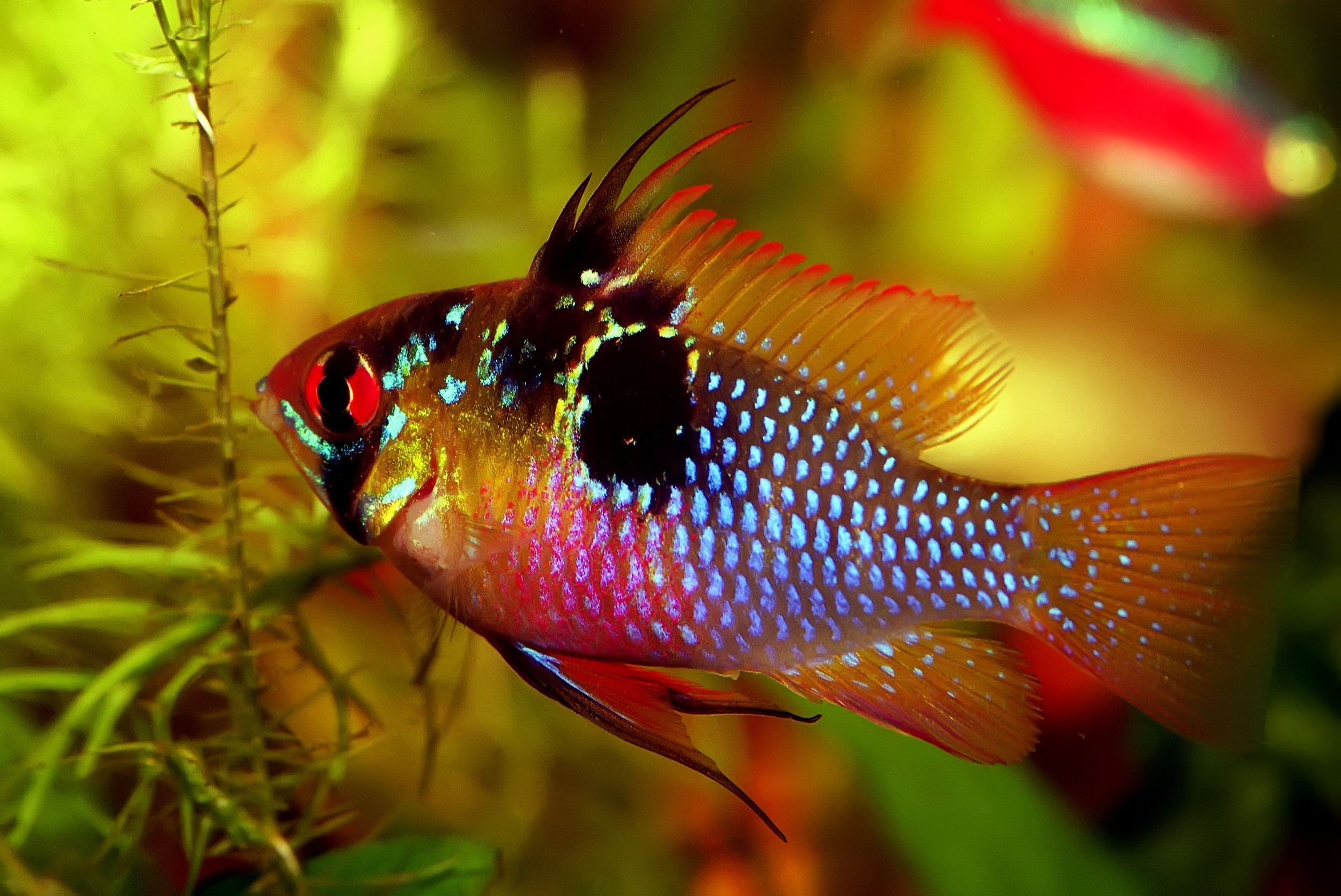 Learn How To Care For German Blue Rams One Of The Most Stunning Fish In The Hobby From What To Feed Them Freshwater Fish Tropical Fish Aquarium Aquarium Fish