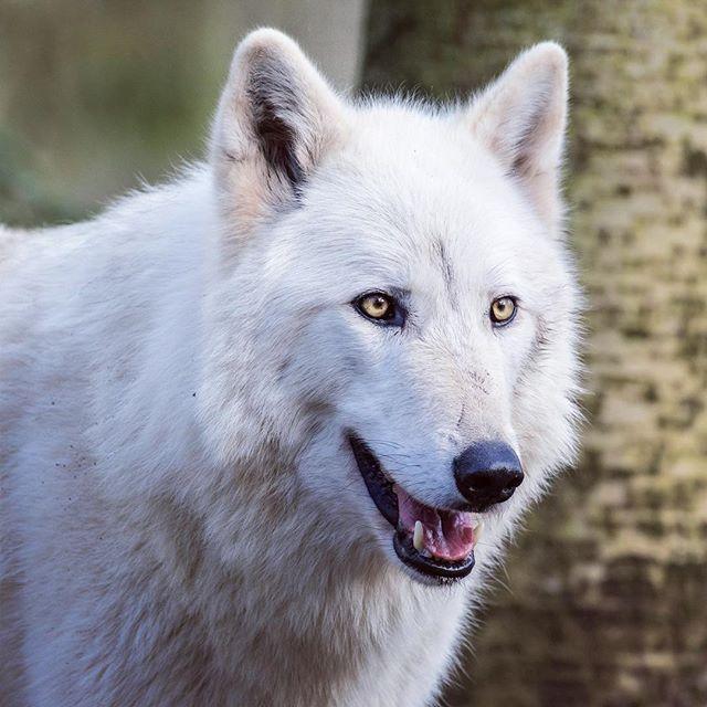 Woodland Park Zoo In Seattle Washington Source Wolves Wolf Dog Woodland Park Zoo Nature Animals