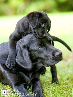 Find Out More On The Active Labrador Size #Labradoroftheday #labradorx #LabradorPuppies #labradorretrieverpuppies
