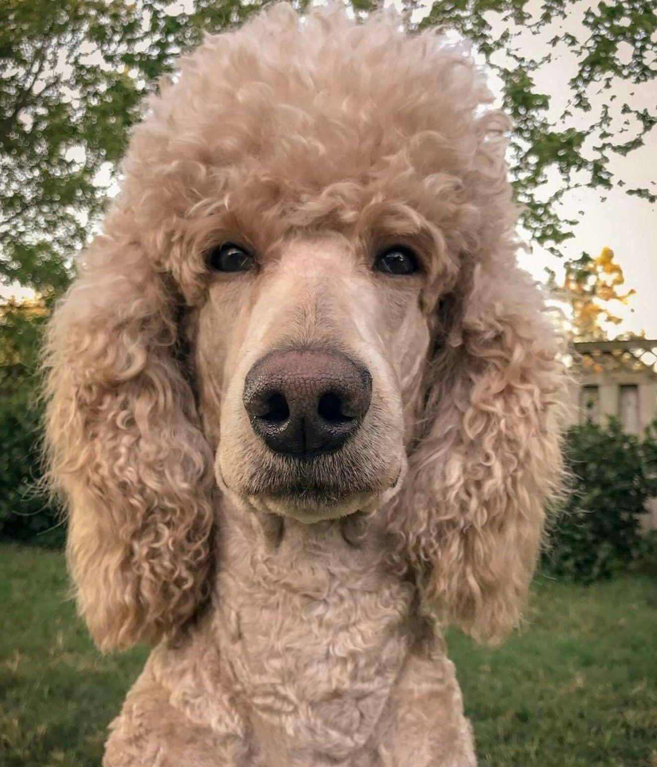 Pin By Danita Daley On Pretty Poodles Dog Dye Poodle Pets