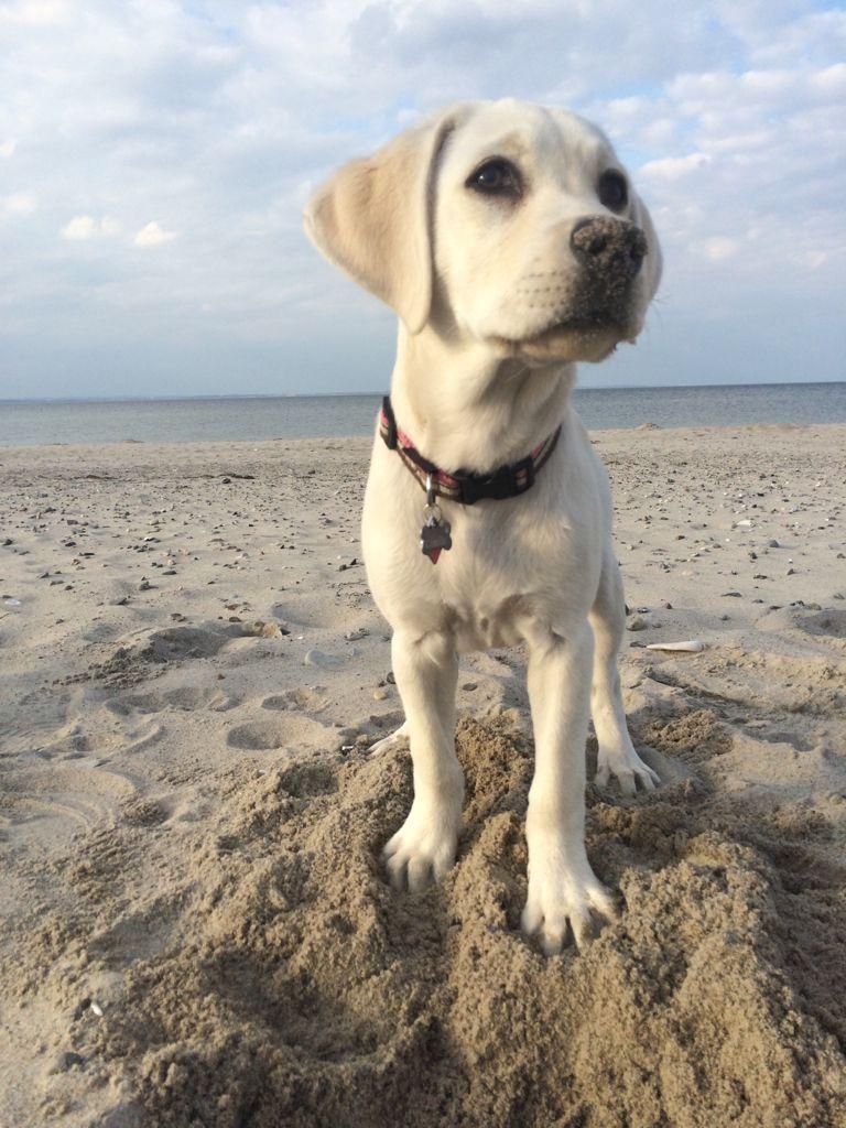 Camille Labrador Hunde Deutschland