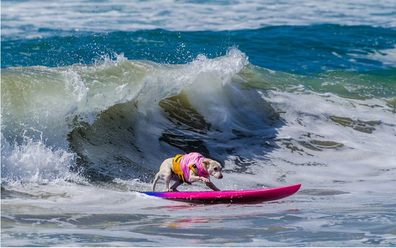 Surf S Pup It S Almost Time For The Surf City Surf Dog Competition Los Angeles Magazine Dog Friendly Vacation Dog Competitions Huntington Beach California