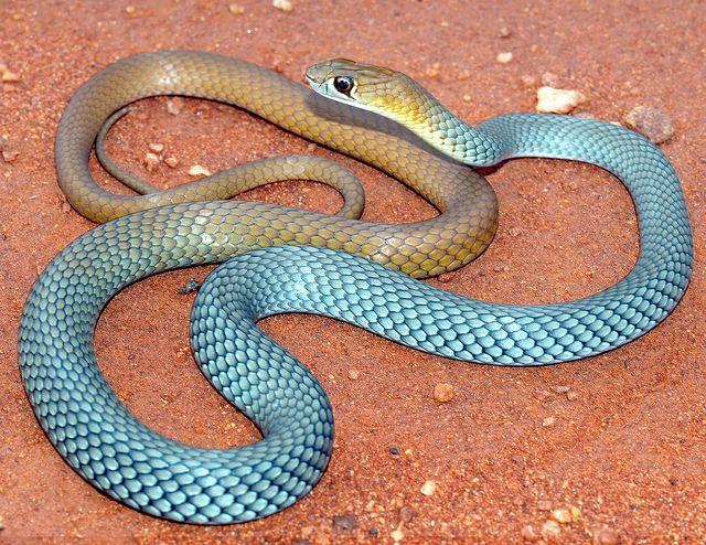 snakeoftheday  fde9e12cdf9