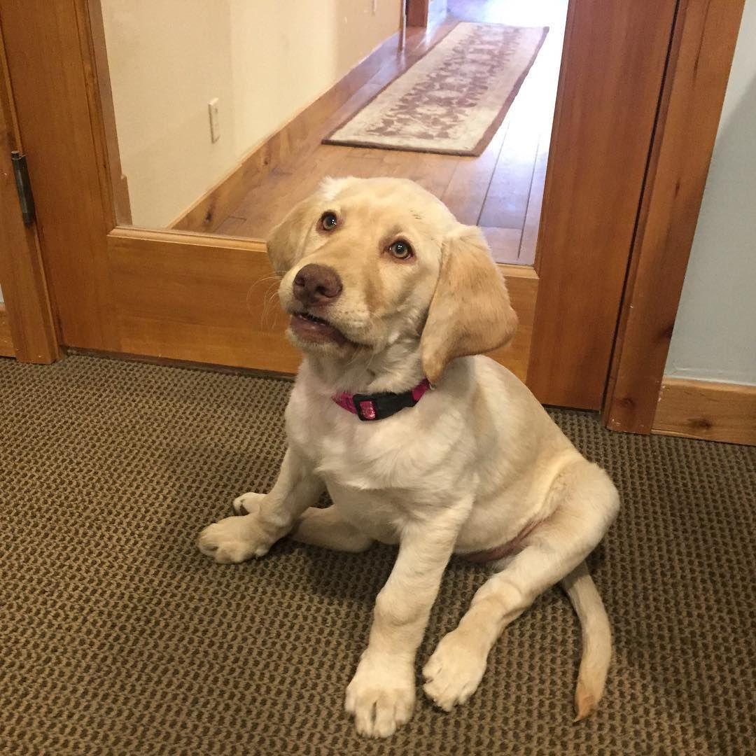 Retriever Breed Type Retriever Dog Adoption Retriever Puppy