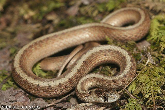 Mi Reptiles Reptiles Snake Clare County