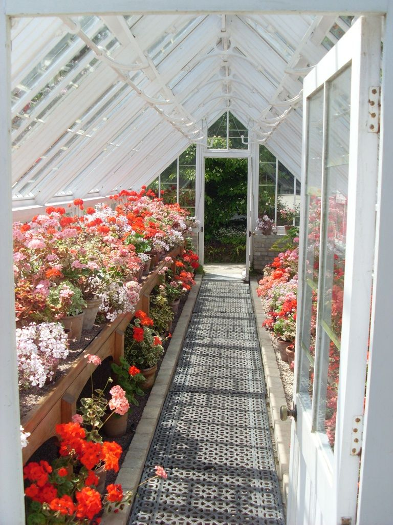 pelargonium filled greenhouse at heligan greenhouse