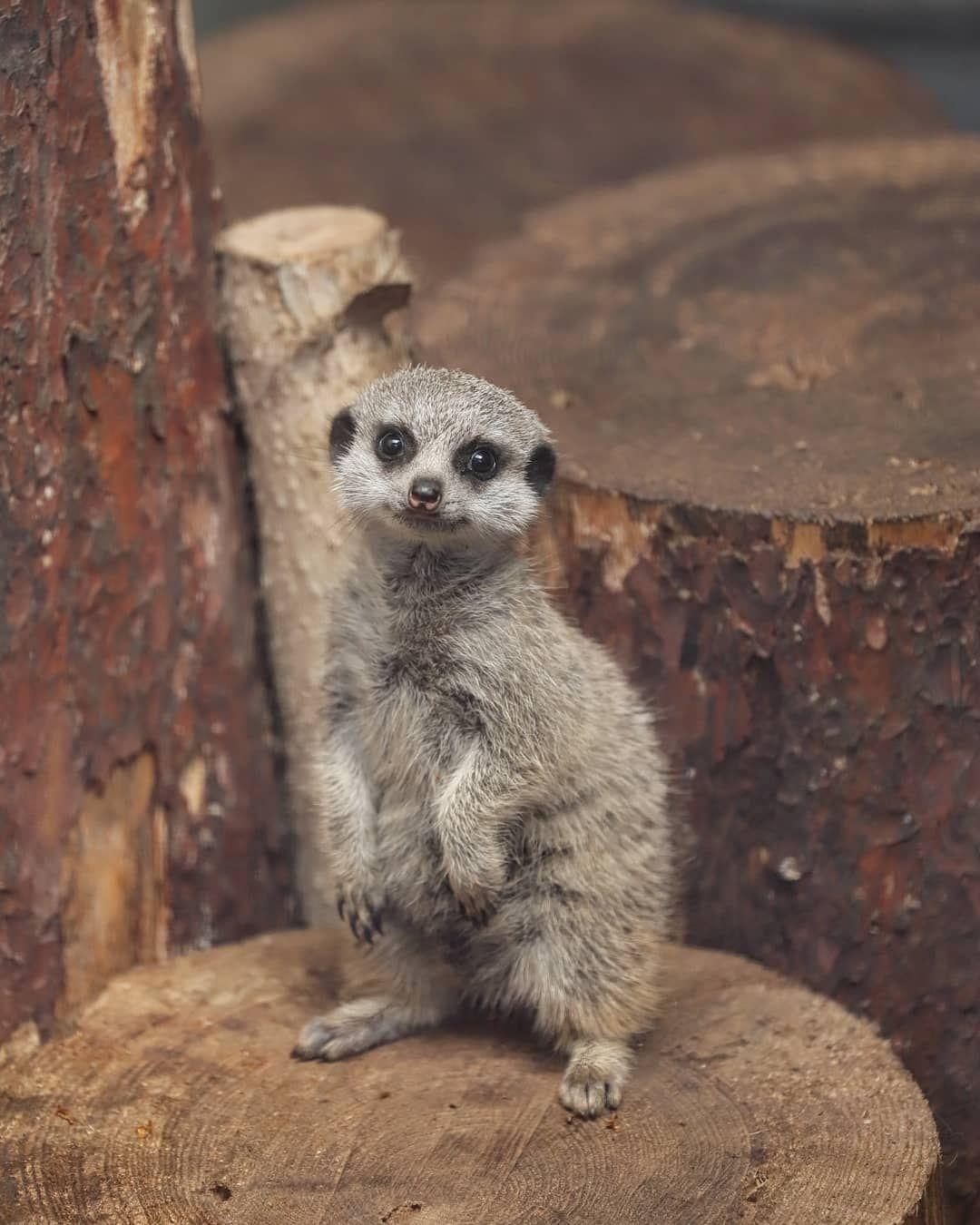ちびミーアキャットちゃん Hello ミーアキャット Suricata 人気者 Cute 可愛い 癒し Cuteanimals Animalbaby 動物の赤ちゃん Cutebaby Animallovers Animal ミーアキャット 動物 動物園