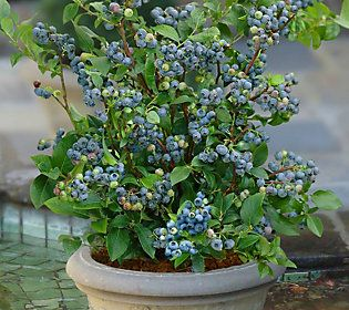 Cottage Farms 2-pc Top Hat Blueberry Collection