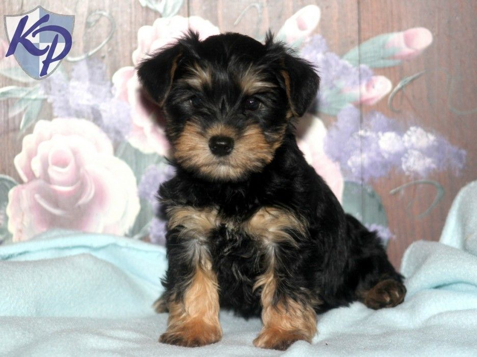 Schnauzer mix puppies for sale oregon