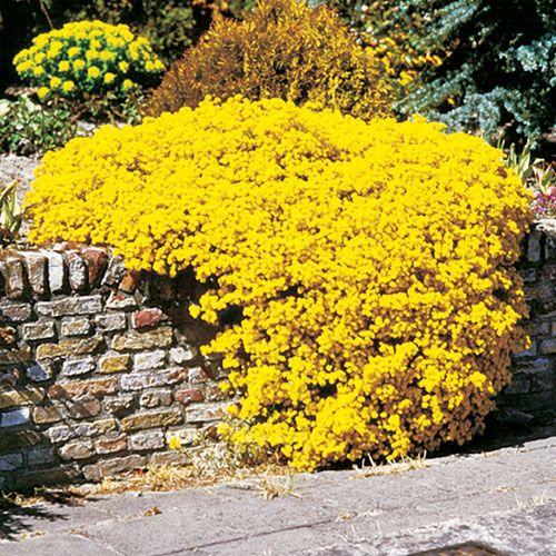 Flowers Allysum Yellow Dazzling Blooms To Greet Spring