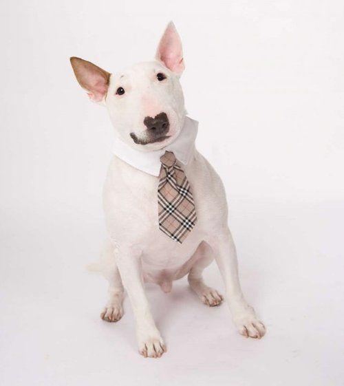 Dapper the #BullTerrier #English #Bull #Terrier #Dog #DogCostume #FunnyDog…