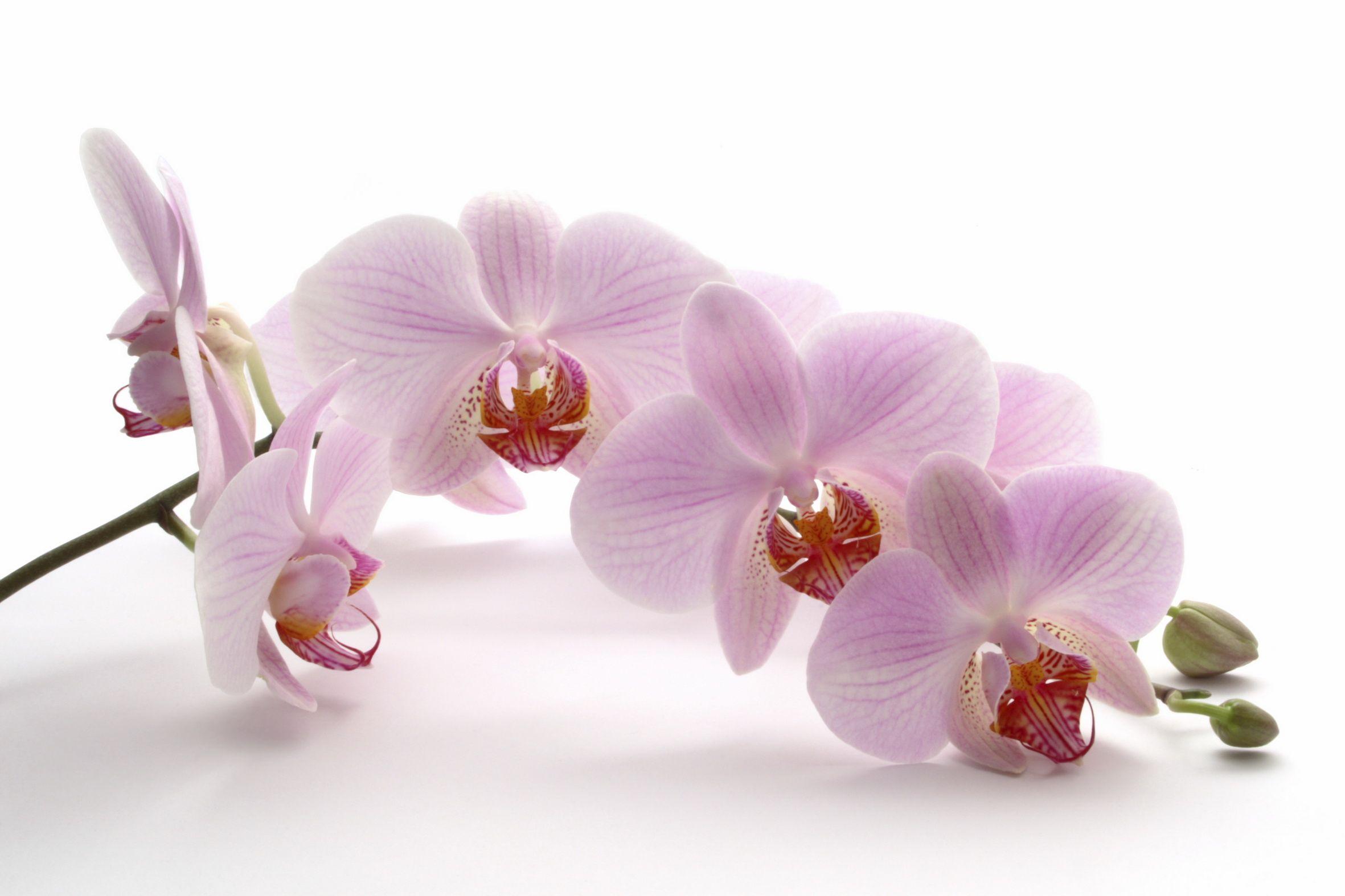 Resultado de imagem para орхидея