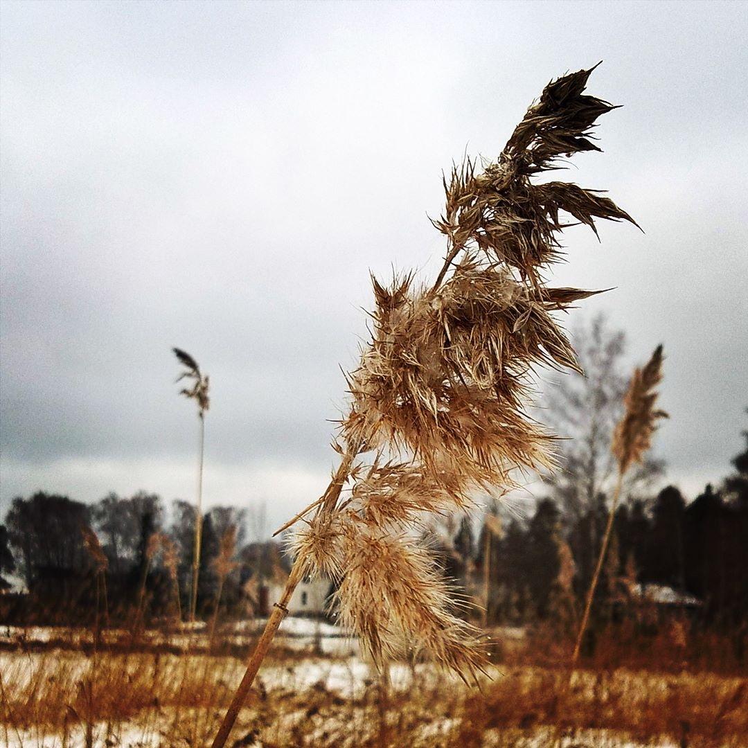 Kaisloja talven jäljiltä Westendin rannalla. #kaisla #kevät #vår #spring #westend #westendinranta #ranta #strand #beach #luonto #natur #nature #espoo #esbo #westendsstrand #kaislikossasuhisee #rannalla #onthebeach by sirpahonkanen