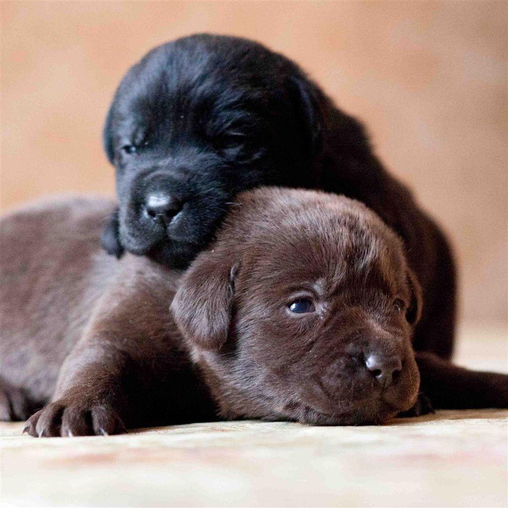 Labrador Retriever Dogs Puppies Couple Retina Ipad Air Wallpaper Black Labrador Puppy Labrador Retriever Puppies Labrador Puppy