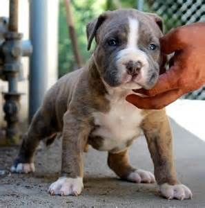 American Blue Brindle Pitbull Puppies With Blue Eyes Bing Images