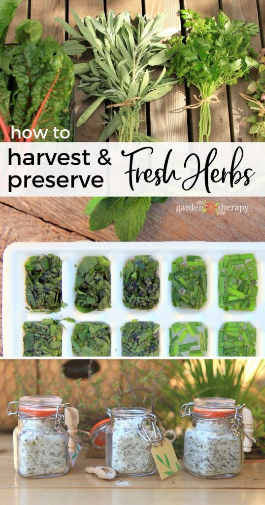 How to Harvest and Preserve Fresh Herbs is part of Fresh herbs garden, Harvesting herbs, Preserve fresh herbs, Outdoor herb garden, Herb garden design, Preserving herbs - There are more ways to preserve herbs than just drying them These creative ideas will preserve the freshness of the herb garden all year