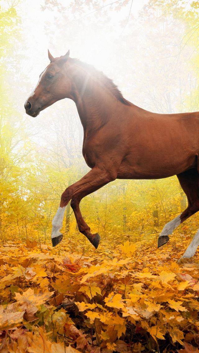 Joe Banjo Rocky Mountain Horse Pennsylvania Horses Wallpaper