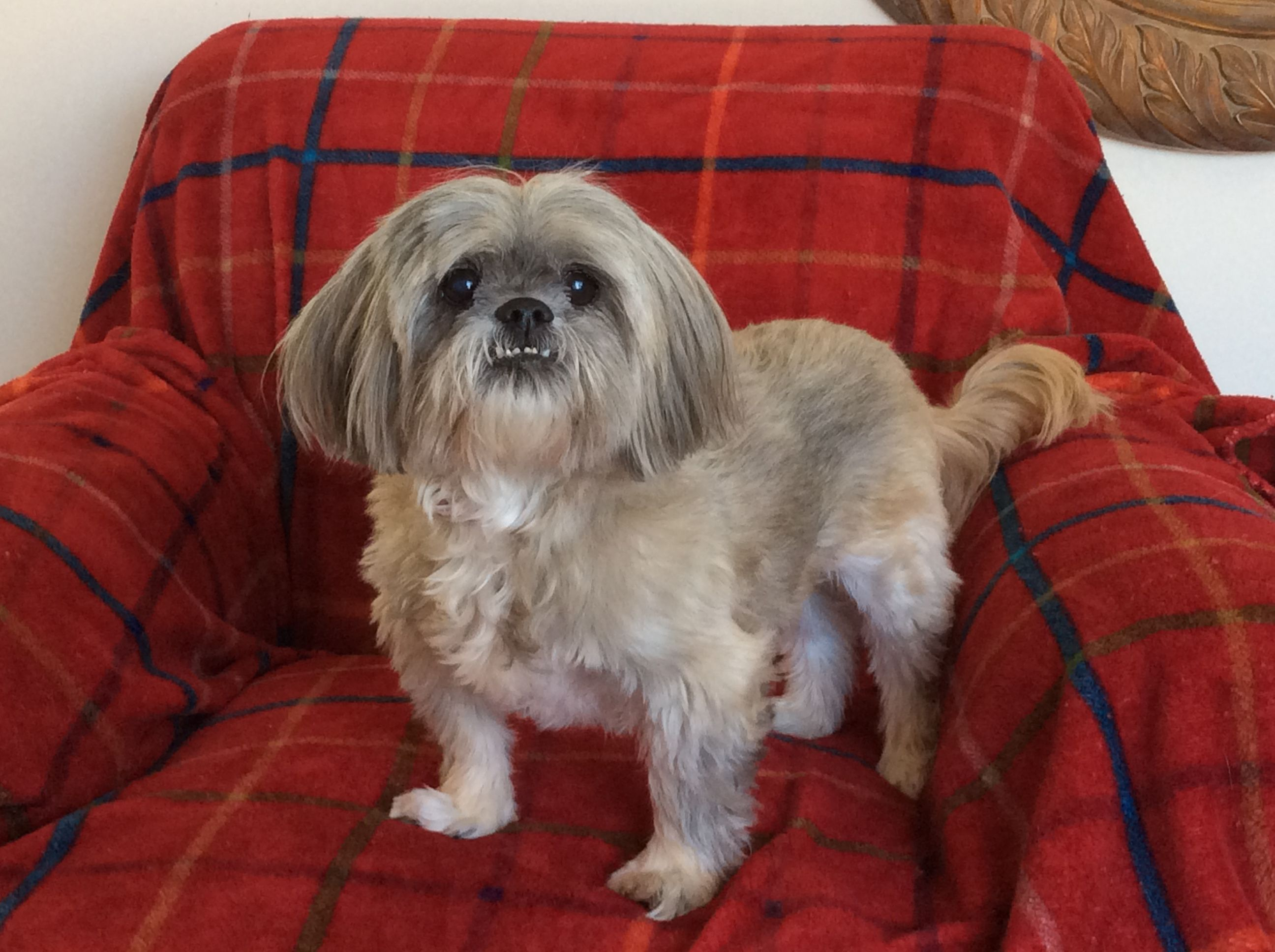 Shih Tzu Dog For Adoption In Florence Ky Adn 437127 On Puppyfinder