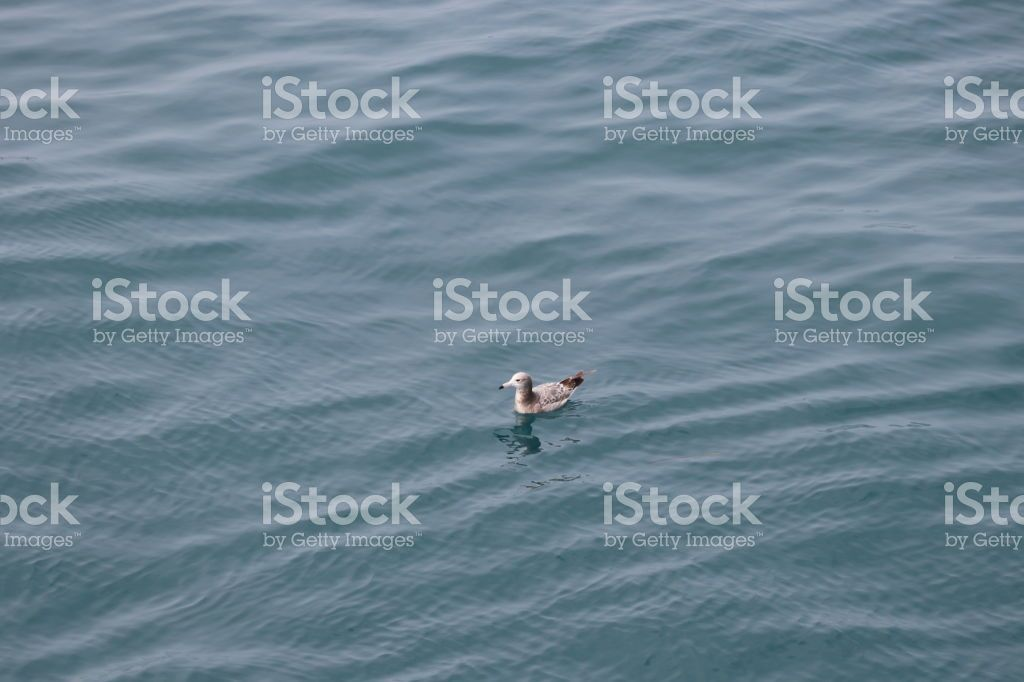 A seagull floating on the sea   A seagull floating on the sea sea The