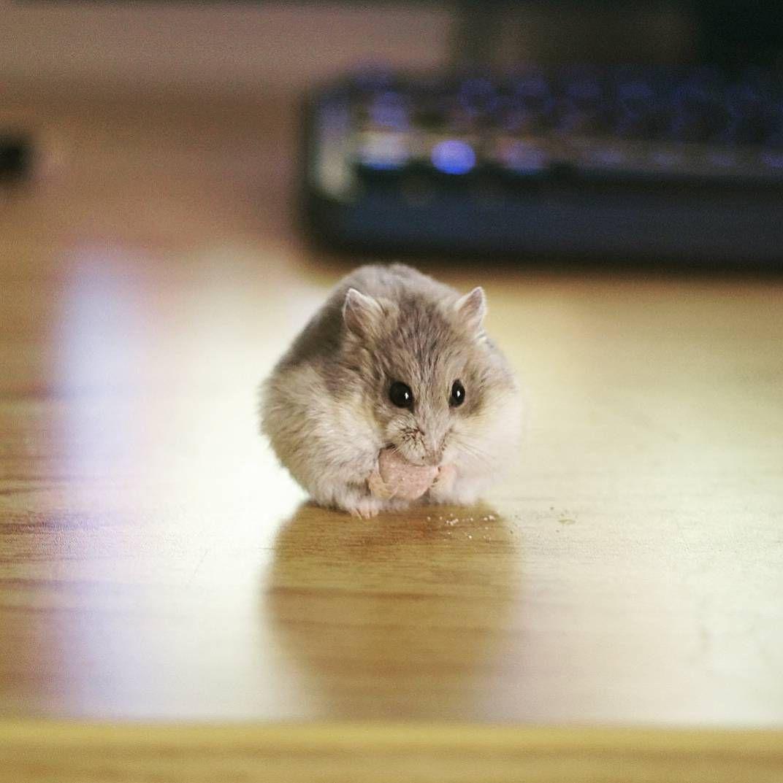 Furball Aww Cutehamsters Hamster Hamstersofpinterest Boopthesnoot Cuddle Fluffy Animals Aww Socute Derp Cute Be Cute Hamsters Hamster Baby Hamster