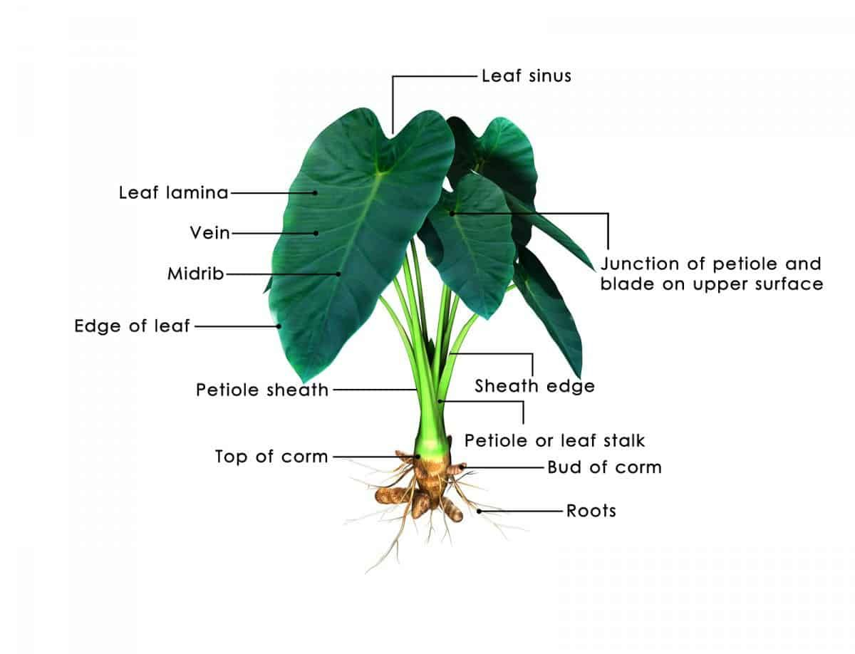Elephant ear plant how to care for colocasia esculenta