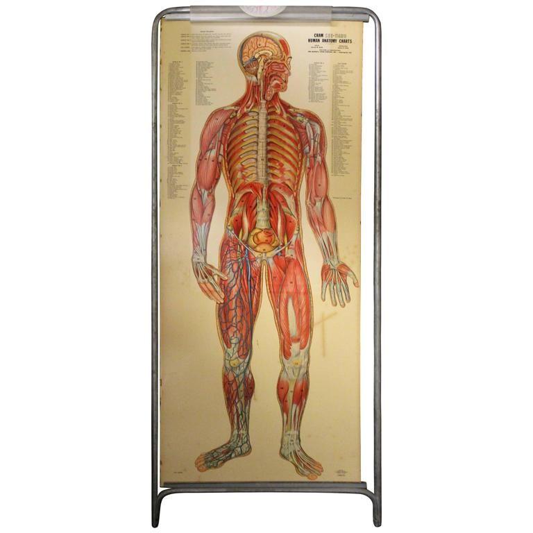 Medical Anatomy Chart Titled \'Thin Man\'   Medical anatomy and Anatomy