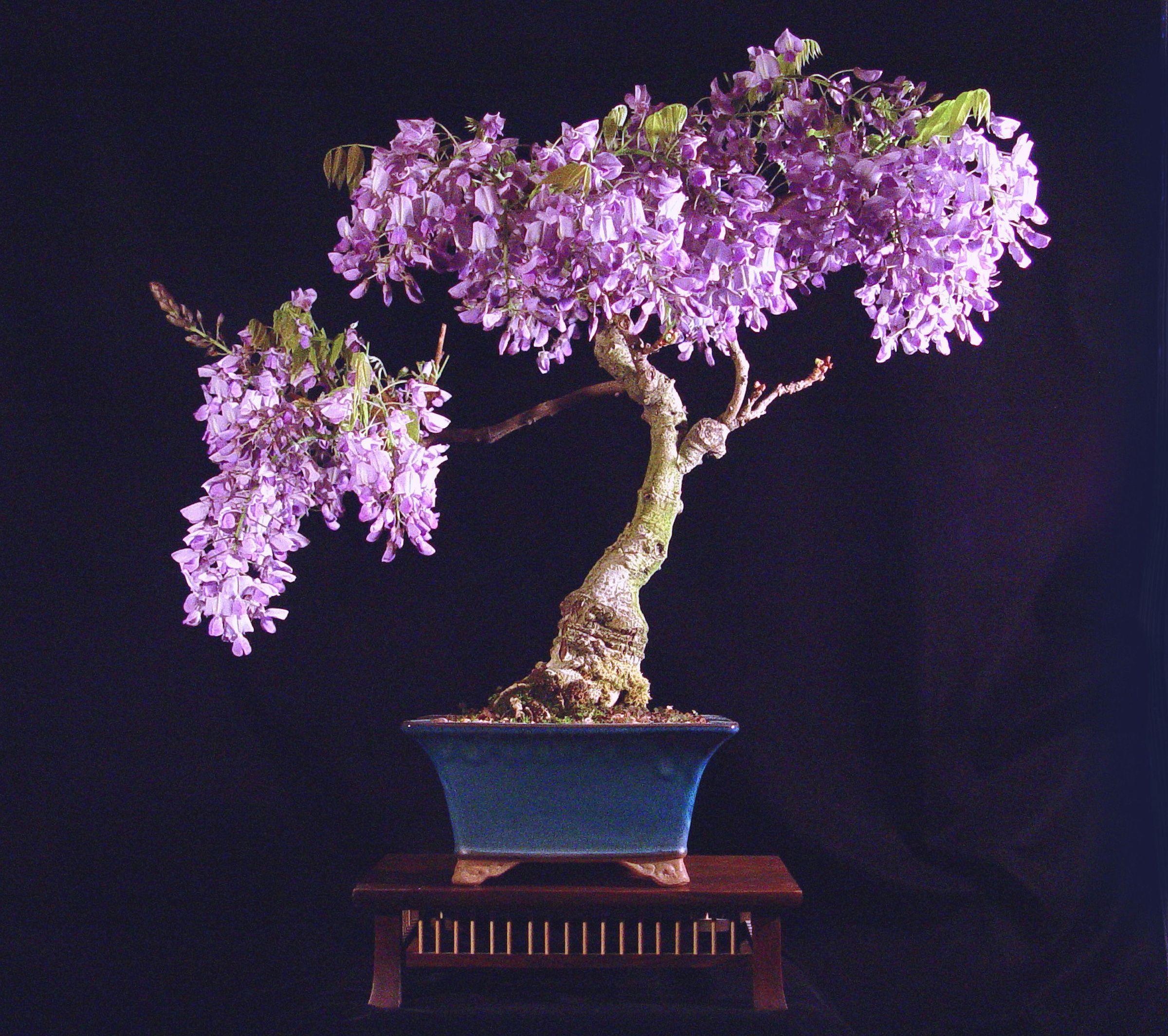Will Heath...Wisteria (Wisteria sinensis)   Height: 18 inches