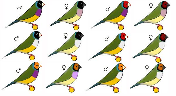 Diferentes Clases De Finches Google Search Animals And Pets African Love Animals