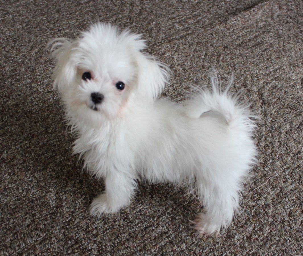 Iowa Puppies For Sale Maltese Maltese F Category In