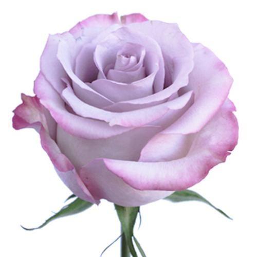 Wholesale Rose Purple Haze 50 Cm Blooms By The Box Purple Carnations Purple Haze Lavender Roses