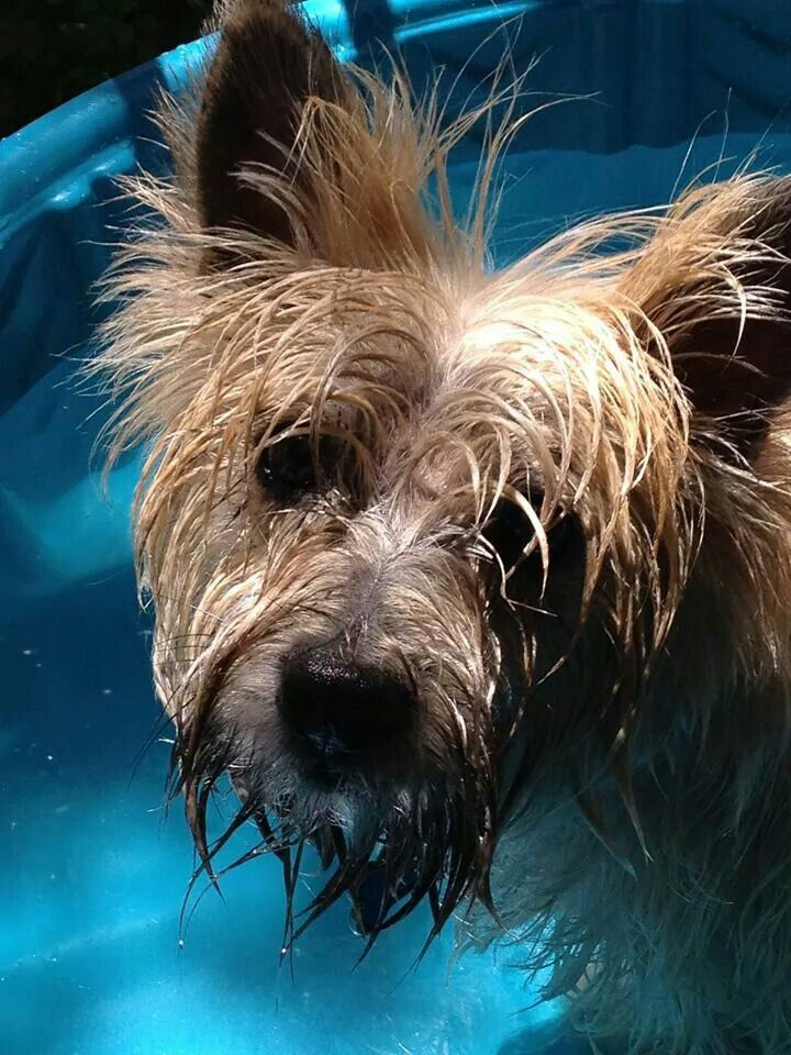 Simple Cairn Terrier Ball Adorable Dog - 54eafeefd681126f635756324dc780f6  Graphic_383466  .jpg