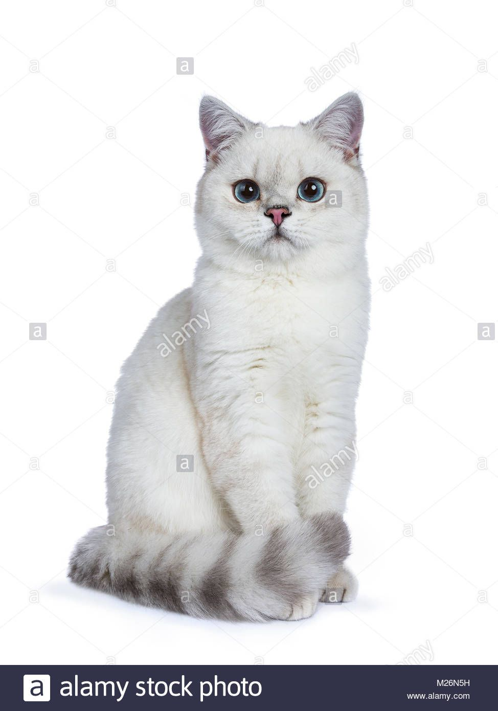 Download This Stock Image Silver Tabby Seal Point British Shorthair Sitting In Front Of The Camera Look British Shorthair Cute Cats And Kittens Cute Baby Cats