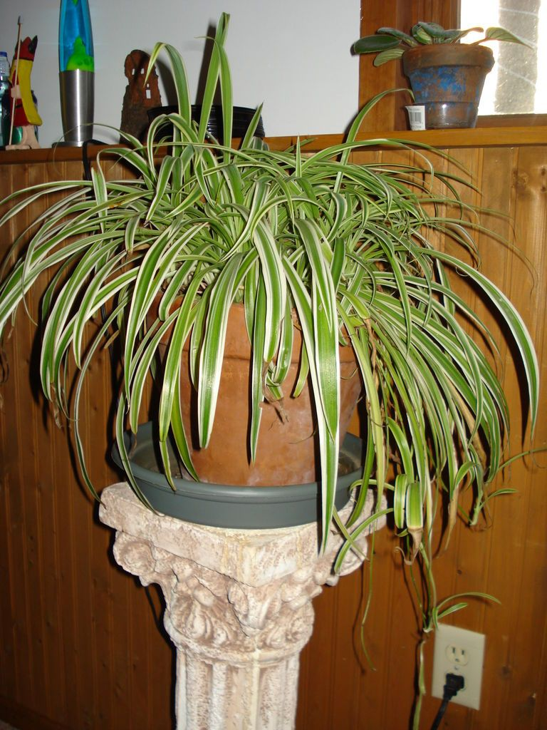 How to multiply your spider plants spider plants plants and
