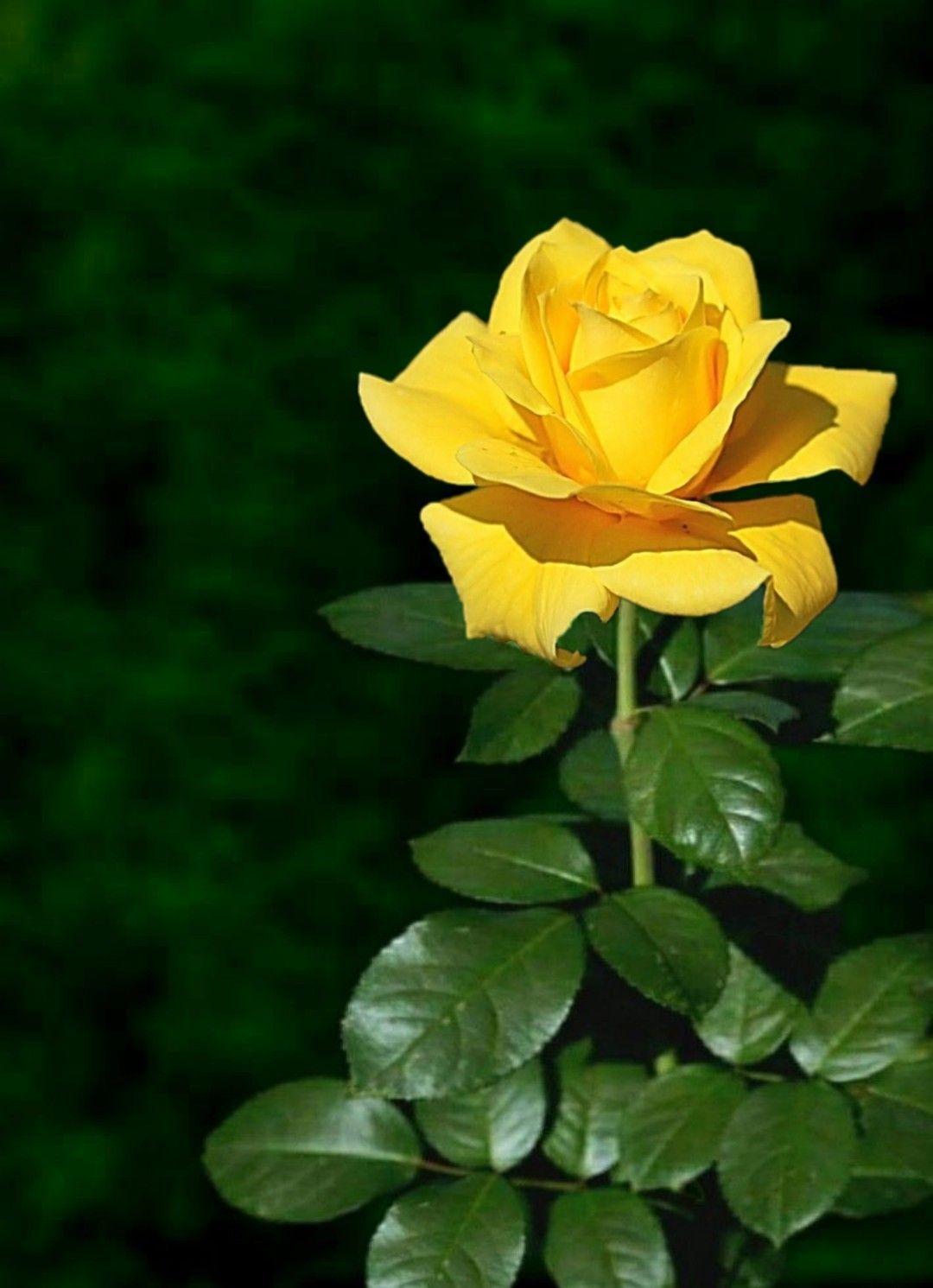 Pin De سيد حمـدان Em 1 A File General Belas Fotos De Flores Flores Bonitas Rosas Lindas