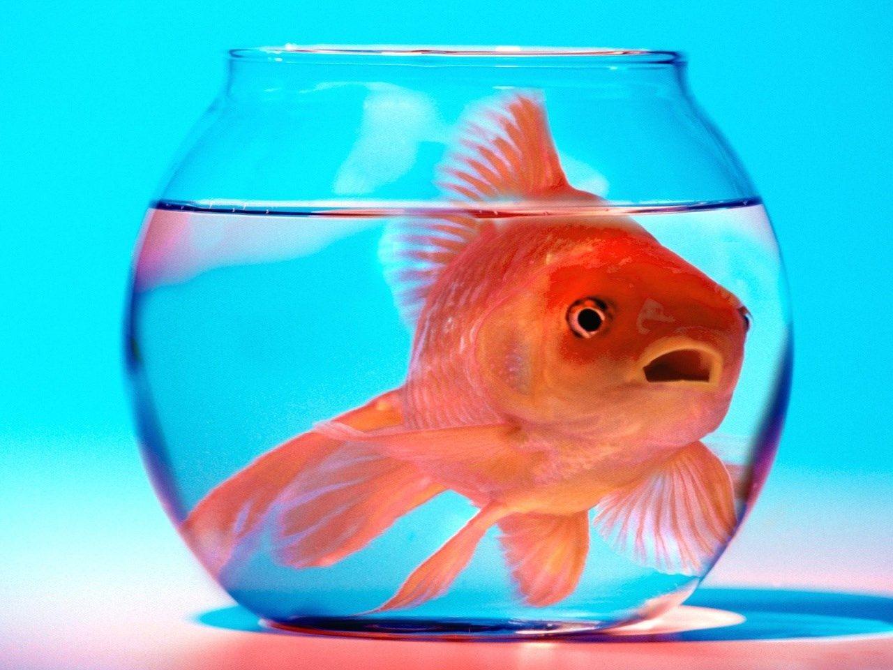 goldfish full hd, 1280x960 (187 kB)