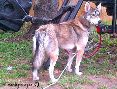 What Is The Proper Position Of A Siberian Husky Tail According To
