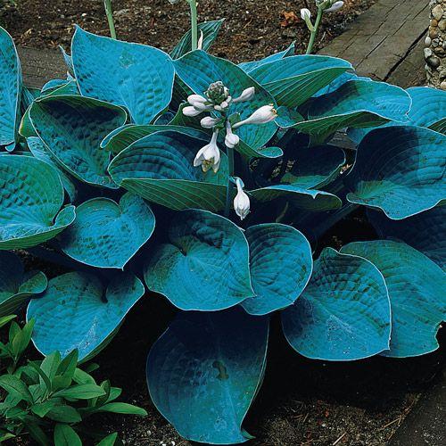 20 seeds Large hosta Bressingham Blue seeds