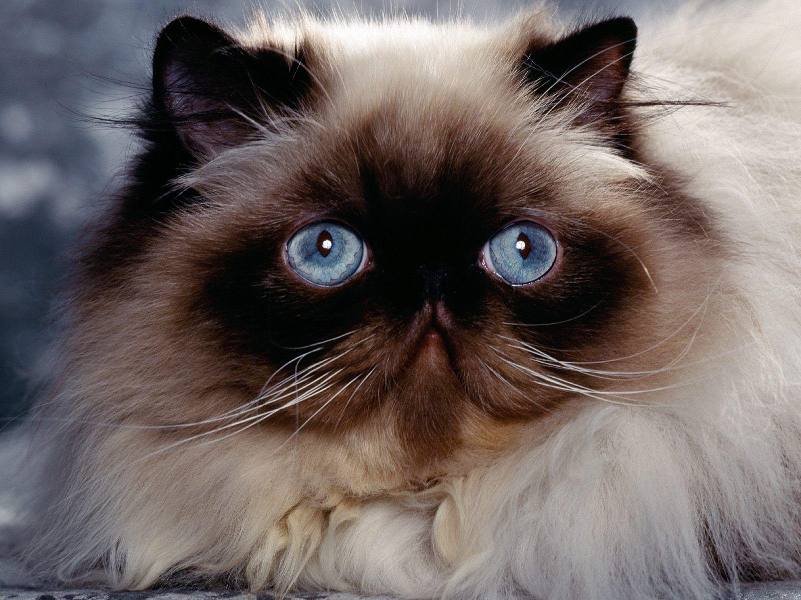 Himalayan Himalayan Persian Cats Cats Himalayan Cat