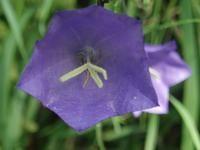 Campanula per. 'Coerulea' (Smalbladet klokke) 80 cm, blå, juli-august, snitblomst, sol-halvskygge