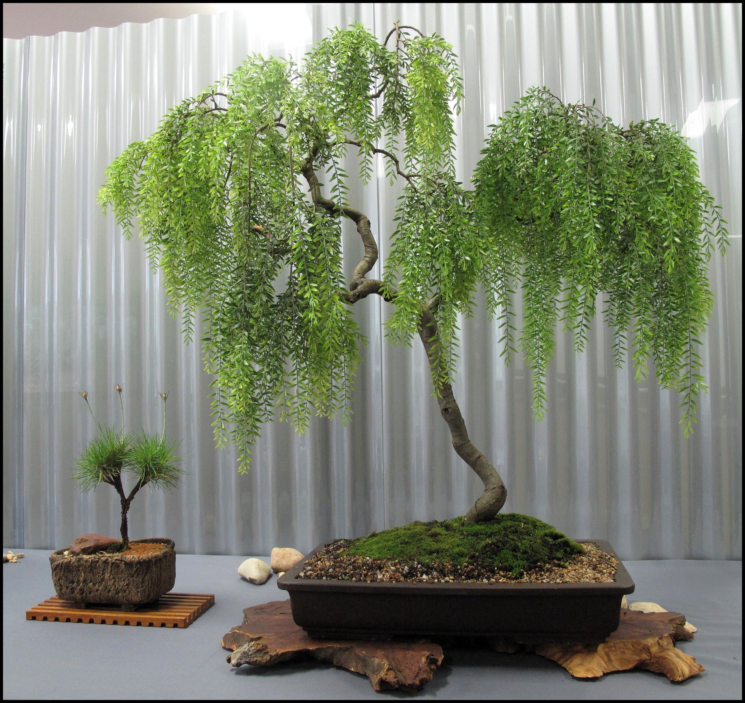 Weeping Willow Bonsai Tree Care Guide (Salix repens) | Bonsai Tree Gardener #bonsaiplants