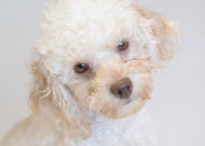 Petango Com Meet Taffy A 5 Years 1 Month Poodle Miniature